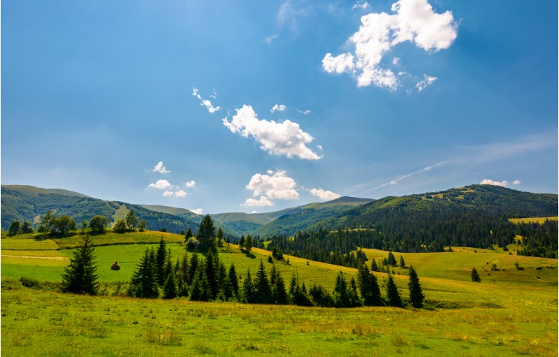 beautiful countryside summer landscape. spruce trees on a rolling grassy hills at the foot of Borzhava mountain ridge. Fine weather with some clouds on a blue sky