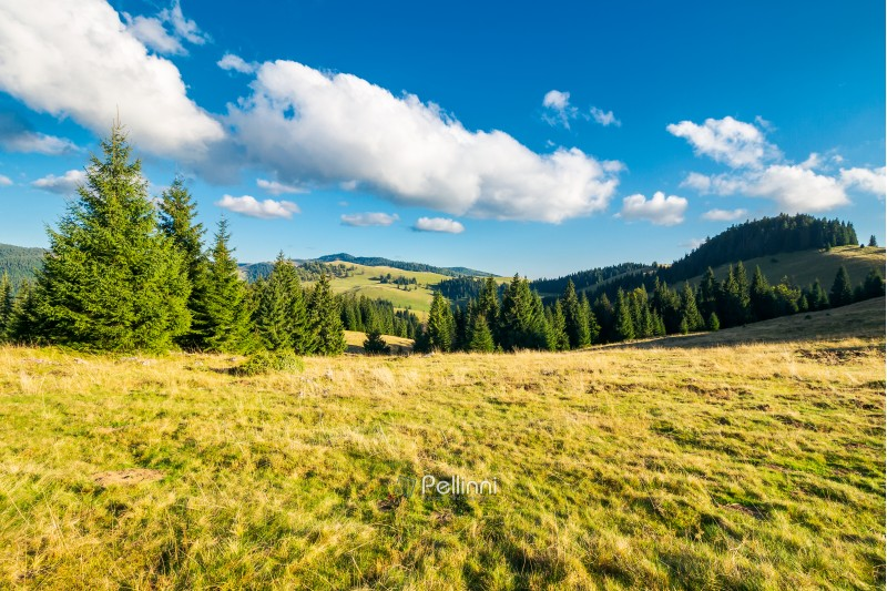 beautiful landscape of Apuseni mountains in autumn. spruce forest on a grassy meadow. gorgeous cloudscape above the ridge. travel Romania discover europe concept
