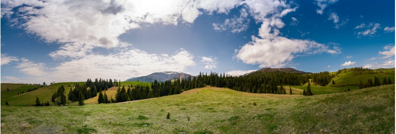 beautiful panorama of mountainous area in spring. spruce forest on grassy hills of Pylypets valley. Borzhava mountain ridge with snowy tops in the distance on a cloudy day
