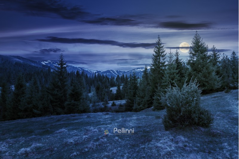beautiful springtime landscape in mountains at night in full moon light. spruce forest on grassy hillside meadow. spots of snow on distant ridge.