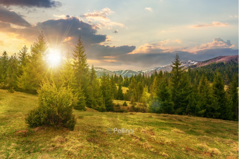 beautiful springtime landscape in mountains at sunset in evening light. spruce forest on grassy hillside meadow. spots of snow on distant ridge.