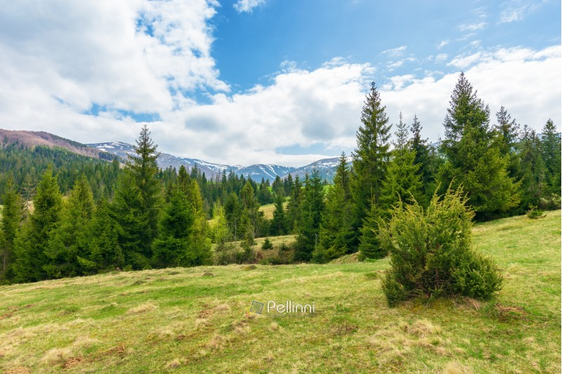 beautiful springtime landscape in mountains. spruce forest on grassy hillside meadow. spots of snow on distant ridge.