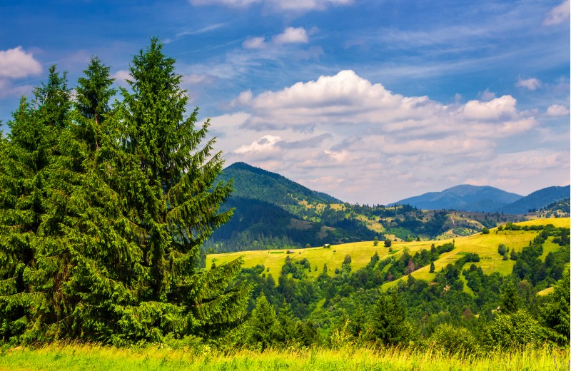 beautiful summer landscape in mountains. tall spruce trees on the edge of a hill