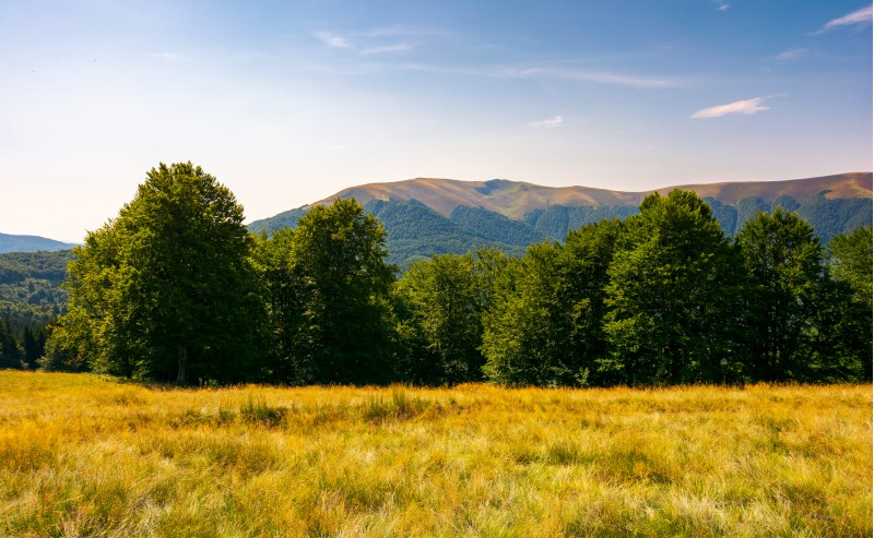 beech forest at the foot of Apetska mountain. lovely summer landscape of Carpathian mountains