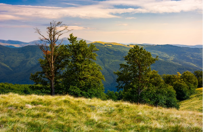 beech forest on a meadow of Svydovets ridge. beautiful landscape of Carpathian mountains in late summer