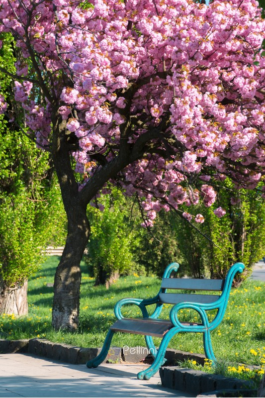 bench under the blossoming chery tree in a park. beautiful urban scenery in the morning. wonderful background in springtime
