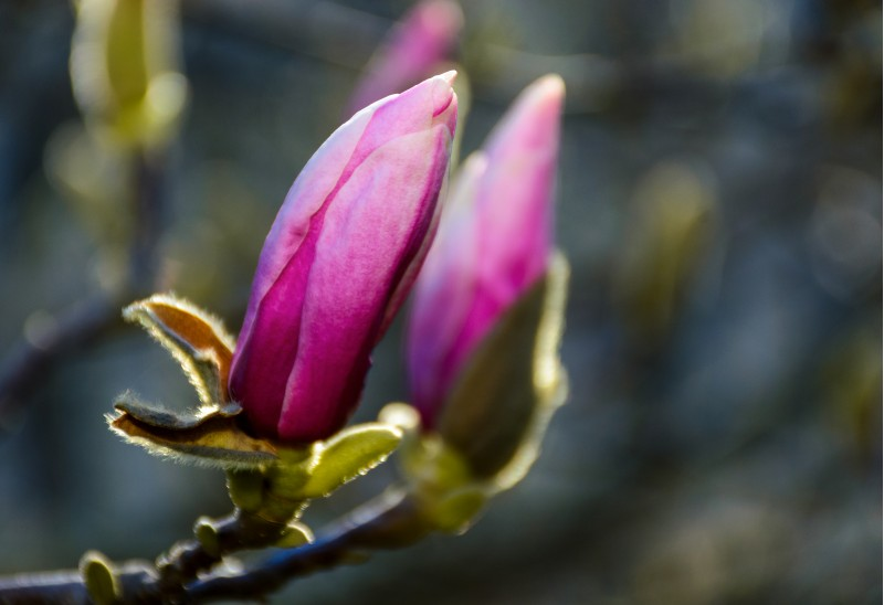 blossom of magnolia flowers. lovely nature background in springtime