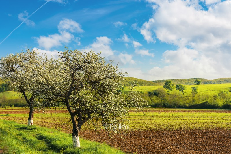 blossoming trees near the agricultural field. wonderful countryside landscape in springtime. grassy rolling hill in the distance. bright sunny weather with fluffy clouds on the blue sky