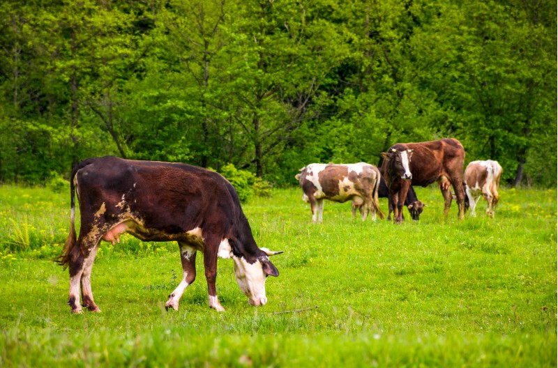 brown cow on a grassy field near the forest. lovely rural scenery in springtime