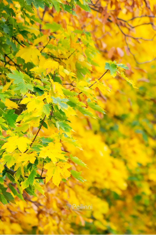 chestnut foliage in autumn. lovely natural background vertical