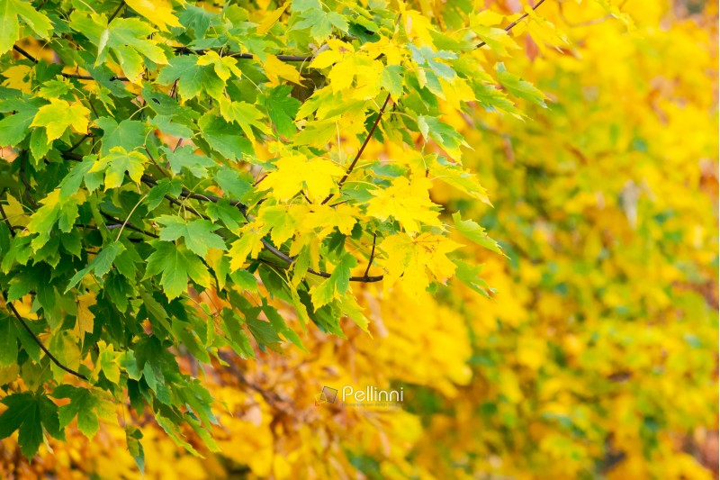 chestnut foliage in autumn. lovely natural background