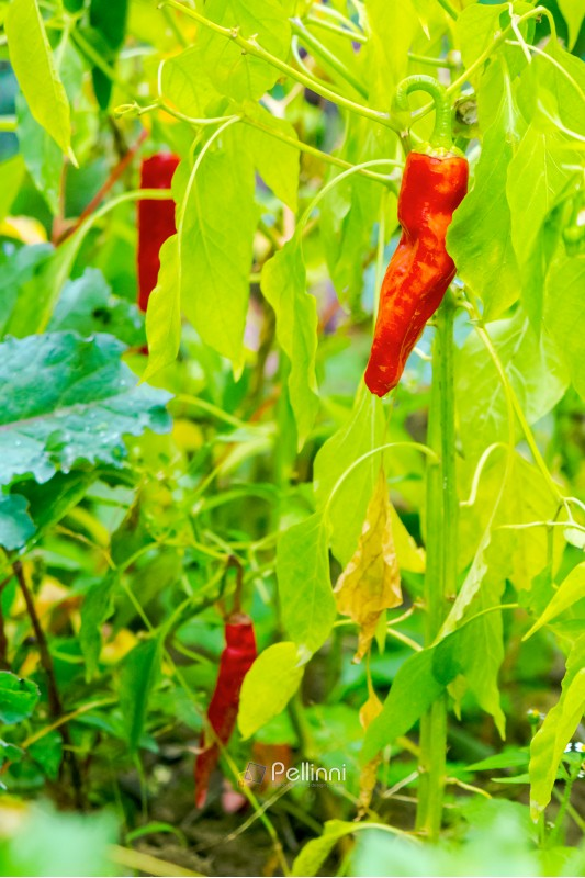 chili peppers grow in the garden. natural food farming