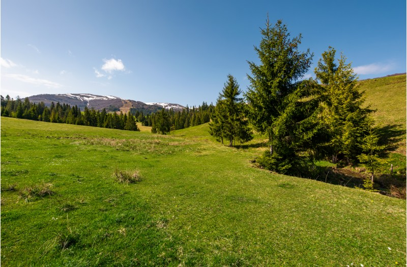 coniferous forest on a grassy hillside. lovely springtime scenery at the foot of Borzhava mountain ridge. location - Pylypets, TransCarpathian region, Ukraine