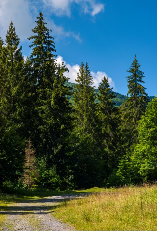 country road through spruce forest. lovely nature scenery on a fine summer day
