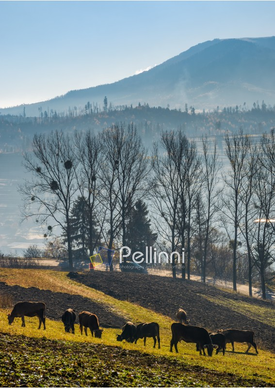 cow grazing on hillside in autumnal countryside. lovely scenery in Carpathian mountainous rural area