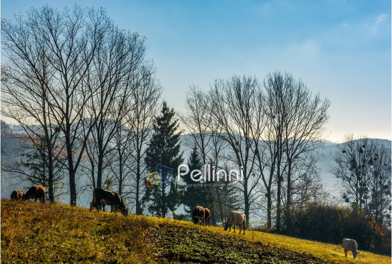cow grazing near the trees on hillside in autumnal countryside. lovely scenery in Carpathian mountainous rural area