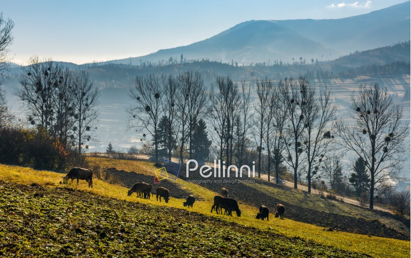 cow grazing on hillside in autumnal countryside. lovely agricultural scenery in Carpathian mountainous rural area