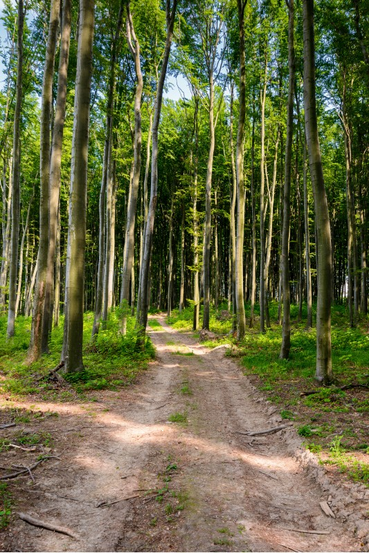 dirt road through beech forest. beautiful nature scenery with tall trees