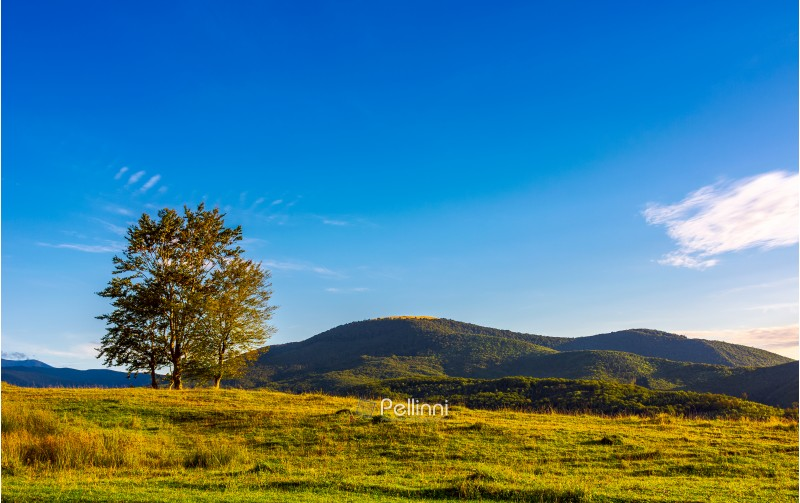 few trees on the grassy hillside at sunset in golden light. beautiful landscape of Carpathian mountains. almost clear blue sky