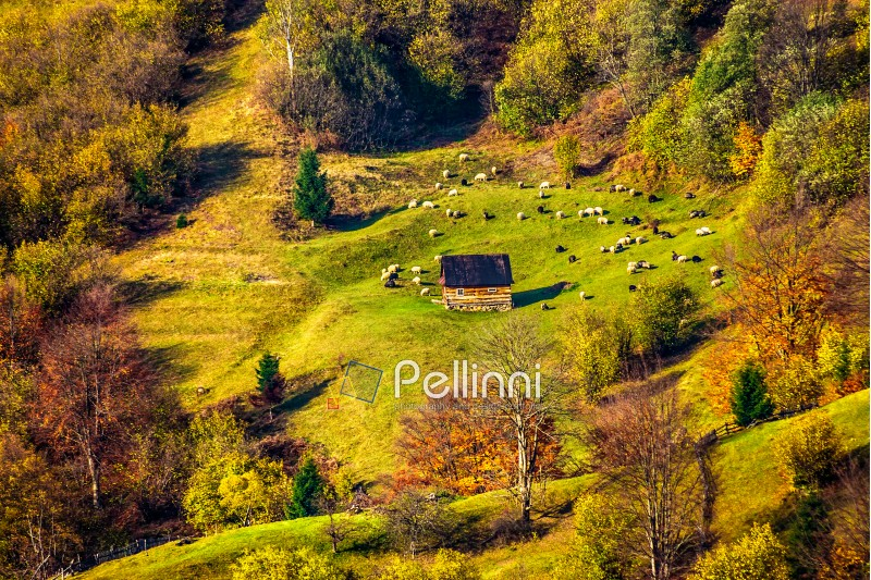 flock of sheep on the meadow on hillside near the fir forest in Carpathian mountains