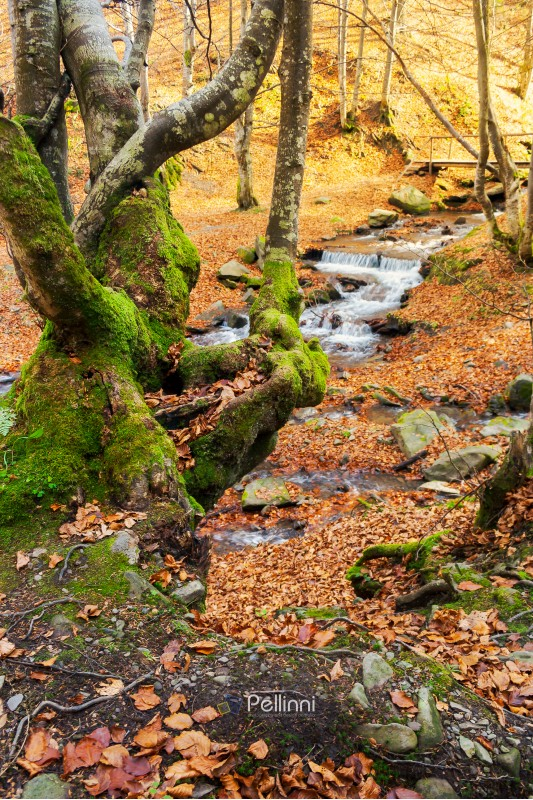 forest in autumn. beautiful sunny weather. mossy tree in front of a Shypot brook in the distance