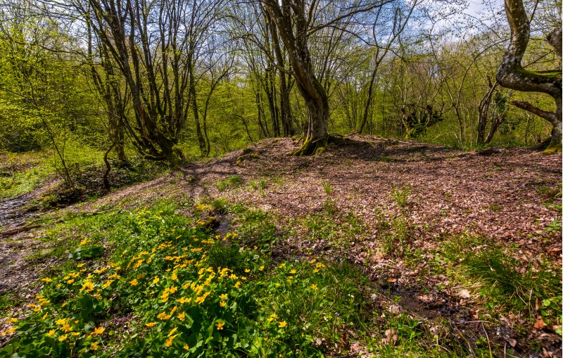 forest in springtime on a sunny day. lovely scenery with yellow flowers near the stream and green foliage on trees