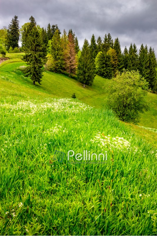 conifer forest on the hillside meadow with few flowers in fresh grass