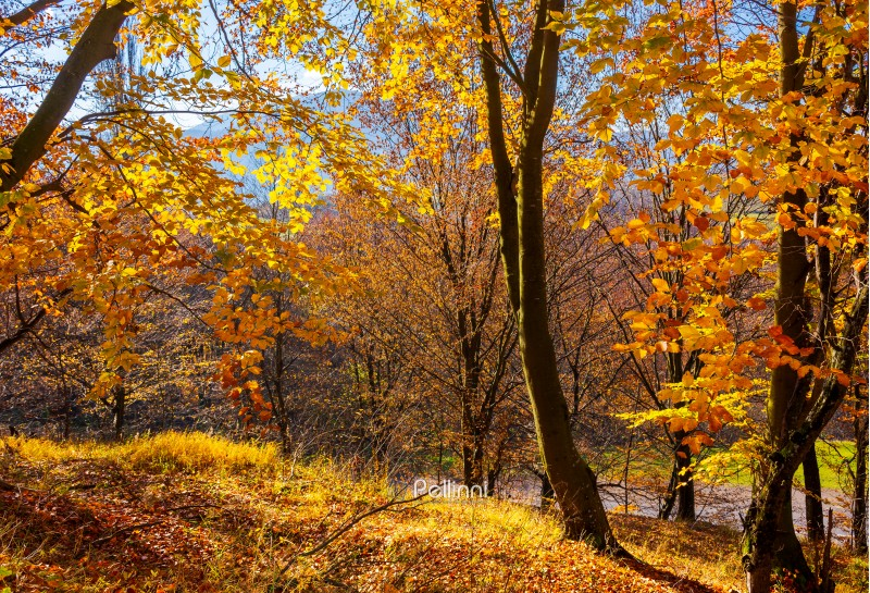 forest on the hillside in orange foliage. lovely nature scenery on a bright day in Carpathian mountains