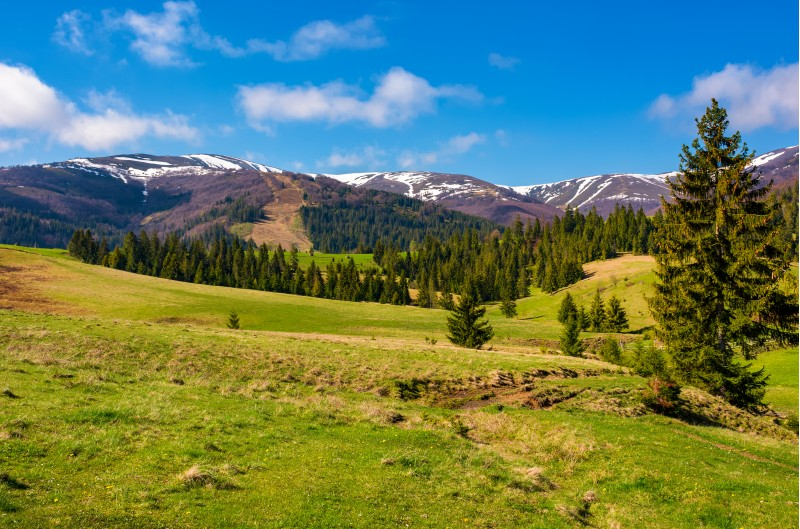 forested hills and grassy meadows in springtime. beautiful landscape of Borzhava mountain ridge with snowy tops in the distance