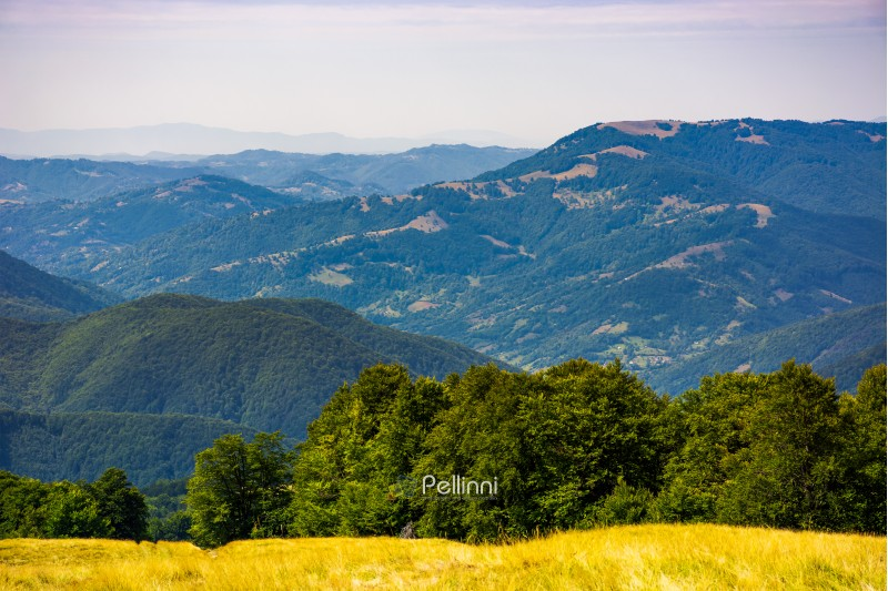 forested hills of Carpathian mountains. beautiful summer landscape. beech trees on a grassy hillside meadow. mountain ridge Krasna in the distance