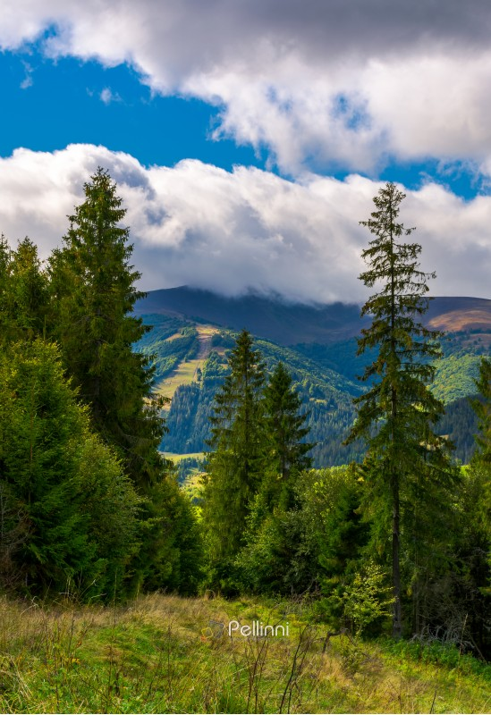 forested hills of Carpathian mountains. beautiful scenery on a cloudy day