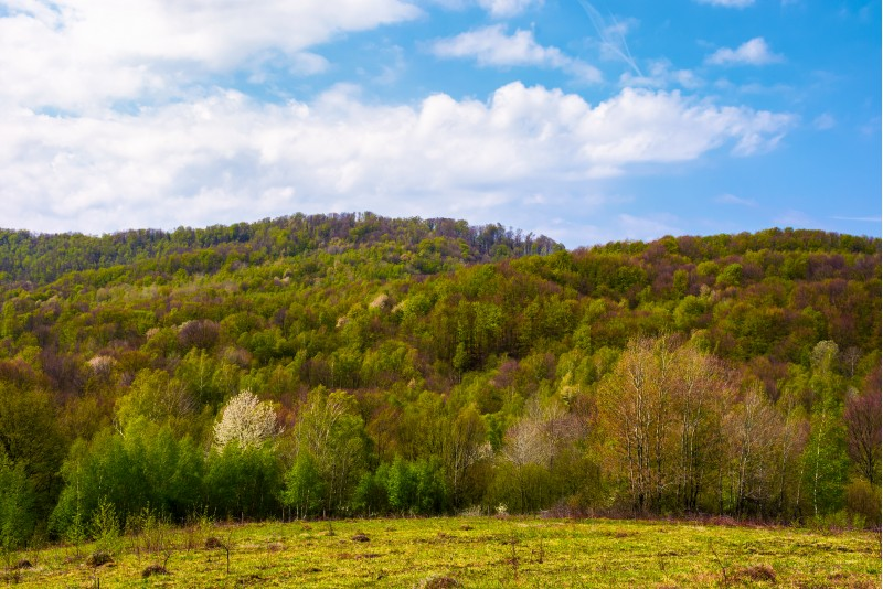 forested hillside on a fine weather. beautiful nature springtime scenery
