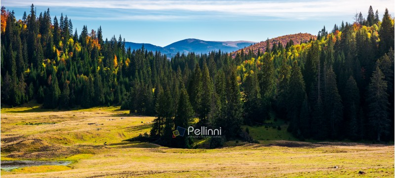forested landscape in autumn. spruce trees on the meadow. panorama of mountain ridge in the distance under the bright sky