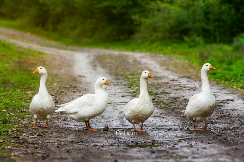 four geese on the country road. local village gang hang out. do not mess with white feathered creatures concept