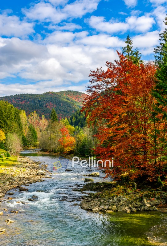 gorgeous day near the forest river in mountains. deciduous tree with vivid red foliage among spruce on the curve rocky shore. dreamy autumnal landscape