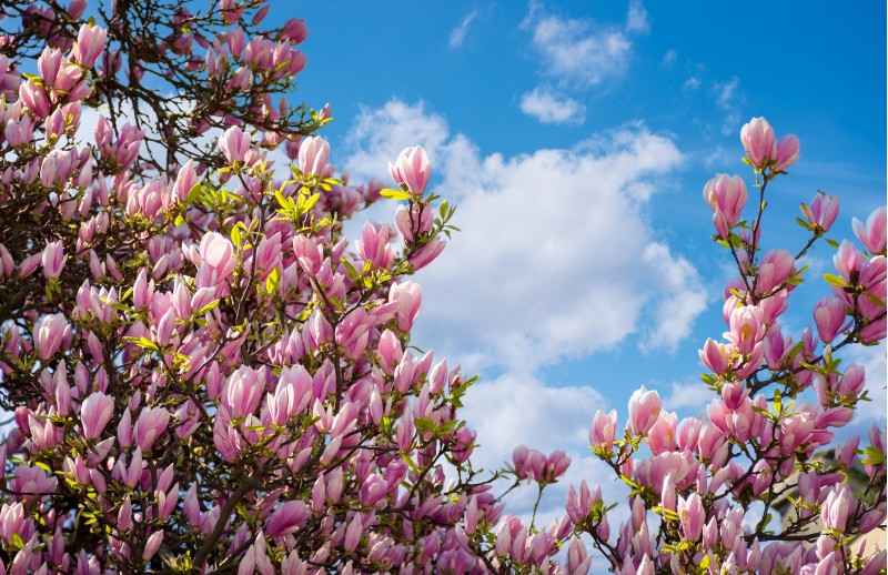 gorgeous magnolia flowers on a blue sky background. lovely springtime scenery in the park