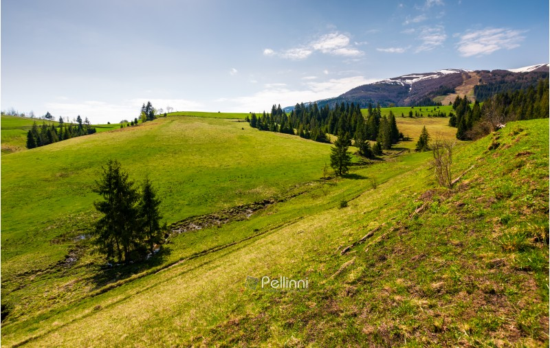 grassy hills at the foot of the ridge. beautiful nature scenery of Borzhava mountain ridge. springtime landscape with snowy mountain tops in the distance