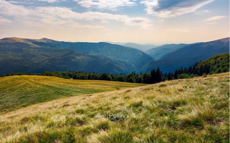 grassy meadow on forested hillside of Carpathians. lovely summer landscape in mountains. location near Svydovets mountain ridge, Ukraine
