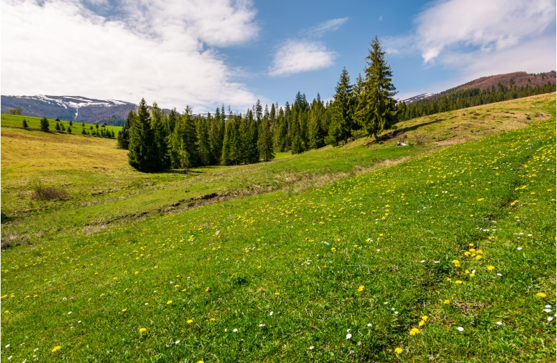 grassy meadow with flowers in mountains. beautiful springtime scenery with spruce forest. mountains with snowy tops in the distance