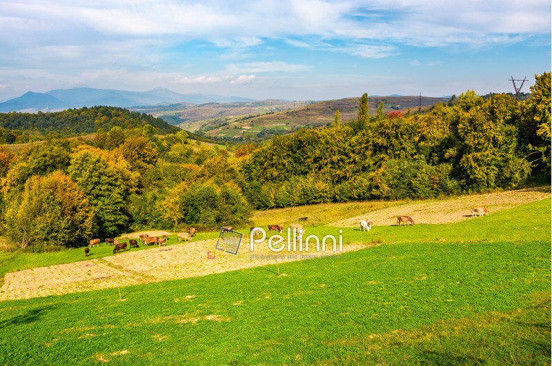 great autumnal rural area in mountains. Cows grazing on rural fields near the forest with colorful foliage