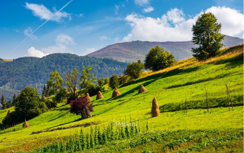 hillside with row of haystacks on rural field. beautiful summer agriculture scenery in mountainous area