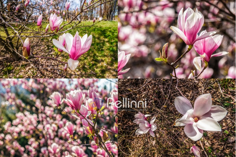 set of images with magnolia flower close up on a blurred  background in spring garden