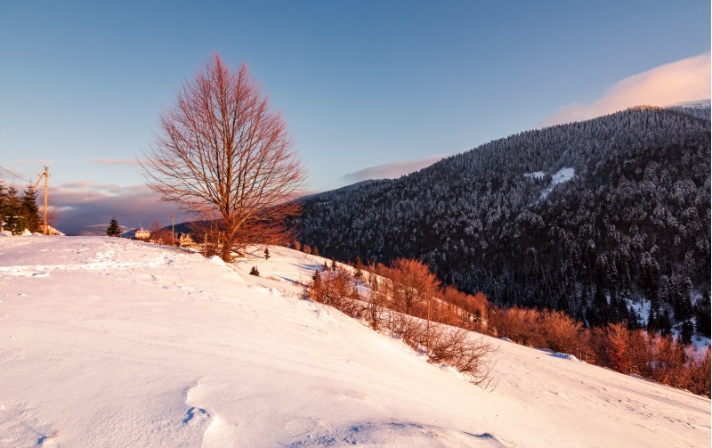 leafless tree on snowy slope in morning light. beautiful mountainous countryside in winter