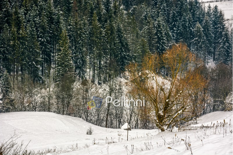 lonely tree on a meadow in morning light on a rural hill side. Spruce forest on snowy day in Carpathian Mountains