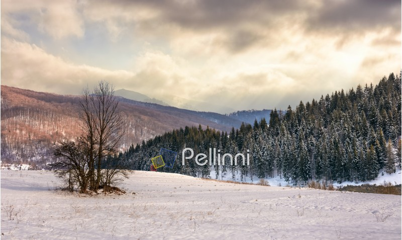 composite landscape with lonely tree on a hill side meadow covered with snow near spruce forest in mountains under stormy winter sky
