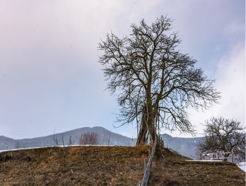 lonely tree on the hill on winter day. lovely rural scenery on an overcast day