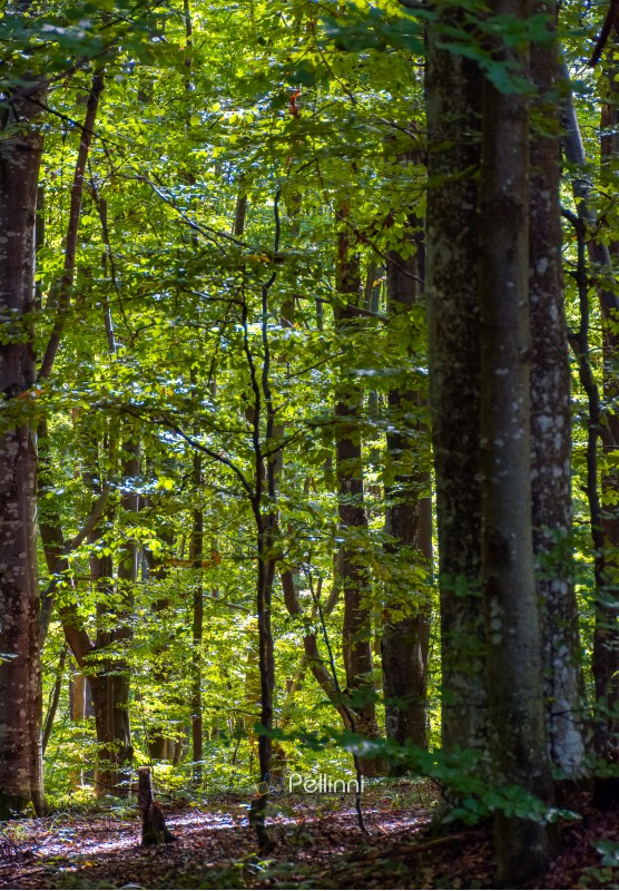 look in to the deep dark beech forest in summer. lovely nature background with tall trees and green foliage