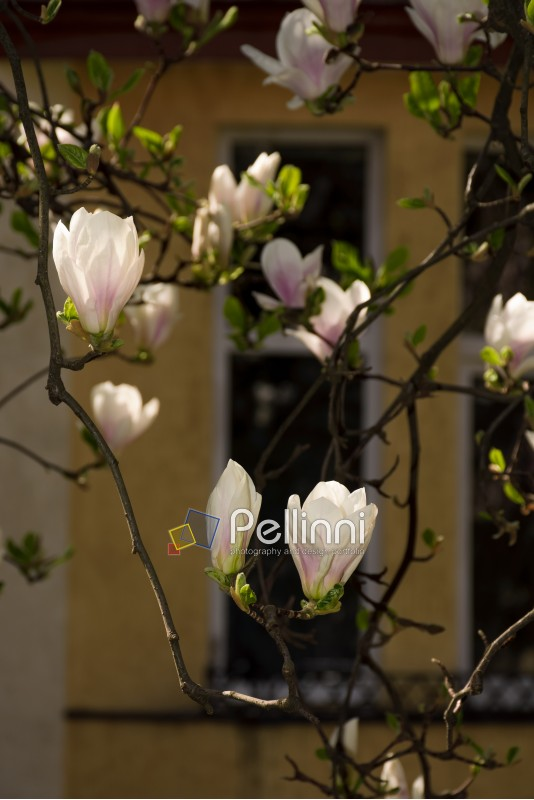 magnolia flowers in front of a window. beautiful spring blossom background