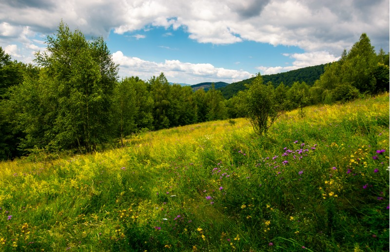meadow with wild herbs among the forest in summer. beautiful nature scenery in mountains on a cloudy day