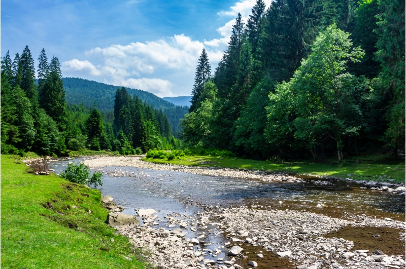 mountain river among the forest in summer. rocky shore and grassy banks. low water capacity. green ancient spruce forest on hillside. cloud formation on blue sky over the mountains in the distance